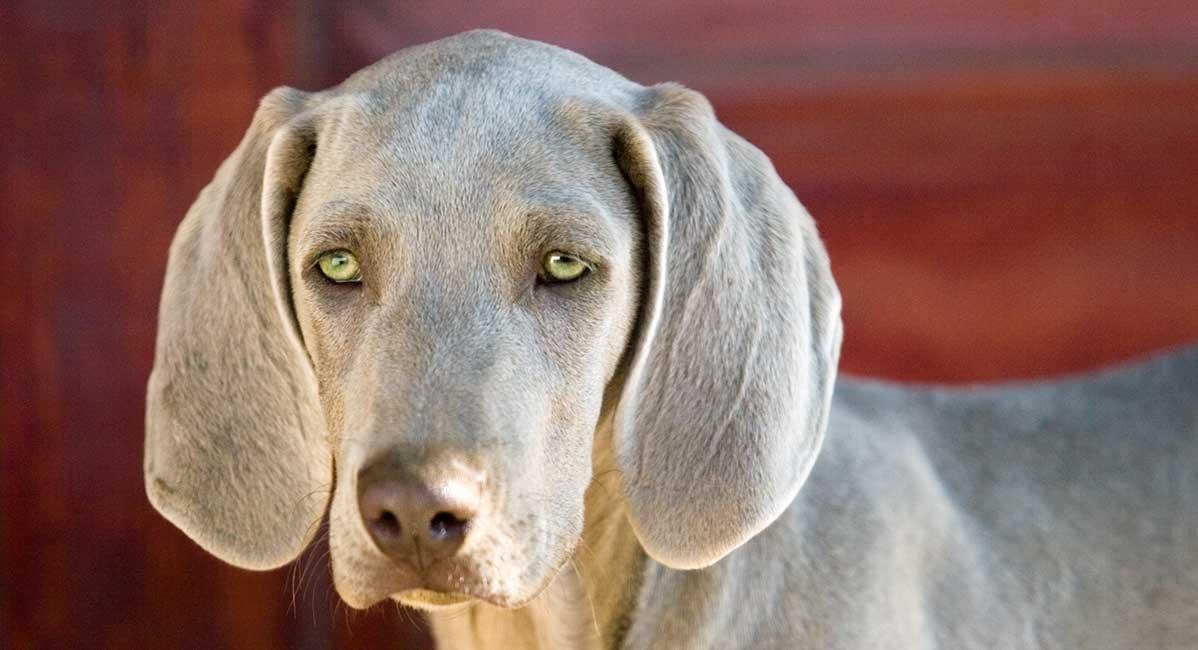 Hunde mit grünen Augen