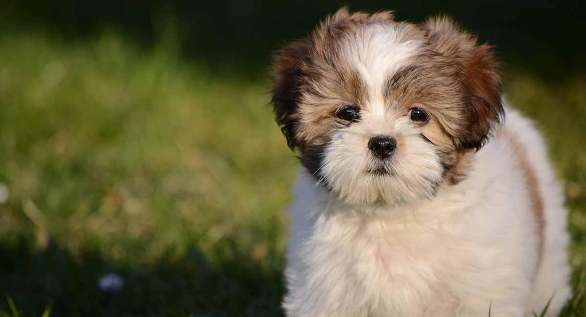 Lhasa Apso - Der kleine Hund voller Persönlichkeit