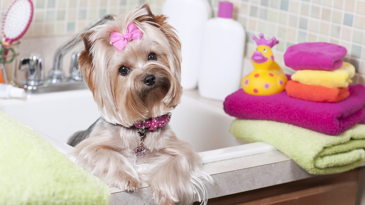 Bestes Shampoo für Yorkies - Halten Sie Ihren Welpen sauber und frisch