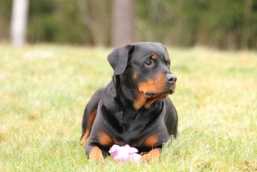 Der Rottweiler - Ihr Leitfaden für eine treue Schutzrasse
