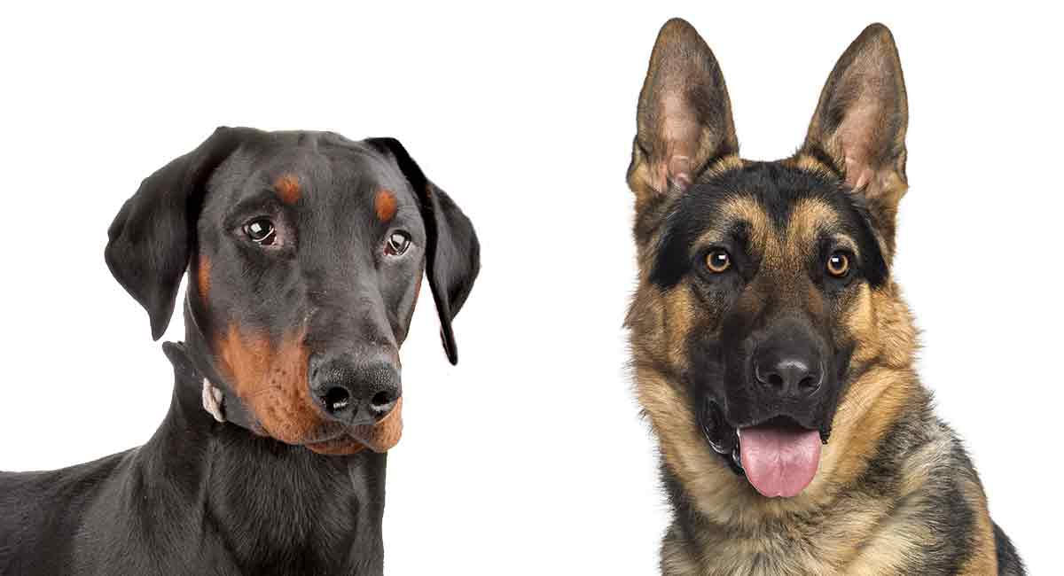Dobermann vs. Deutscher Schäferhund - Welcher Schutzhund macht ein besseres Haustier?
