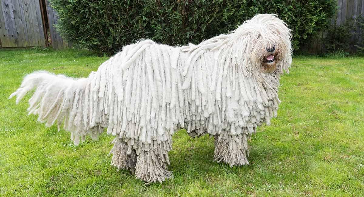Dreadlock Dog - Die Welpen mit der unglaublichsten Frisur