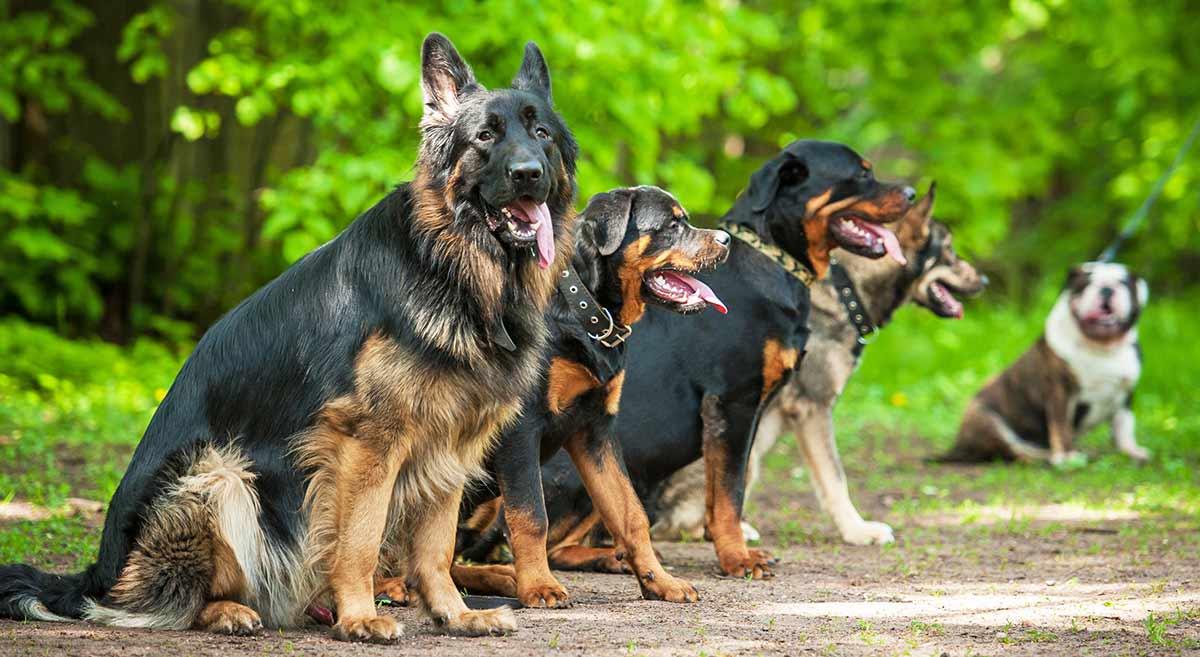 Rottweiler vs Deutscher Schäferhund