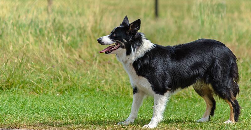Entdecken Sie den Border Collie Australian Shepherd Mix