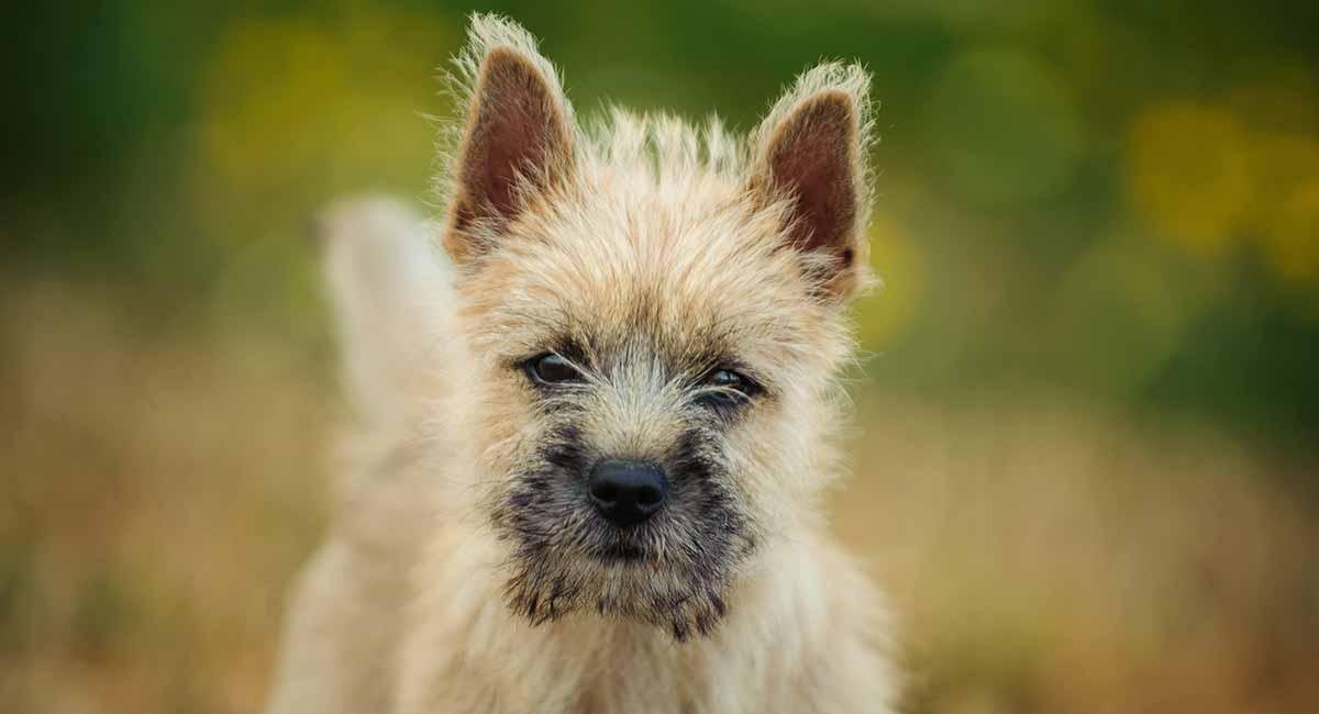 Cairn Terrier: Eine alte Rasse als modernes Haustier