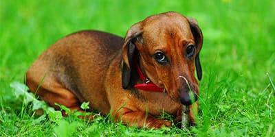 110+ rote Hundenamen für feurig-haarige Furballs