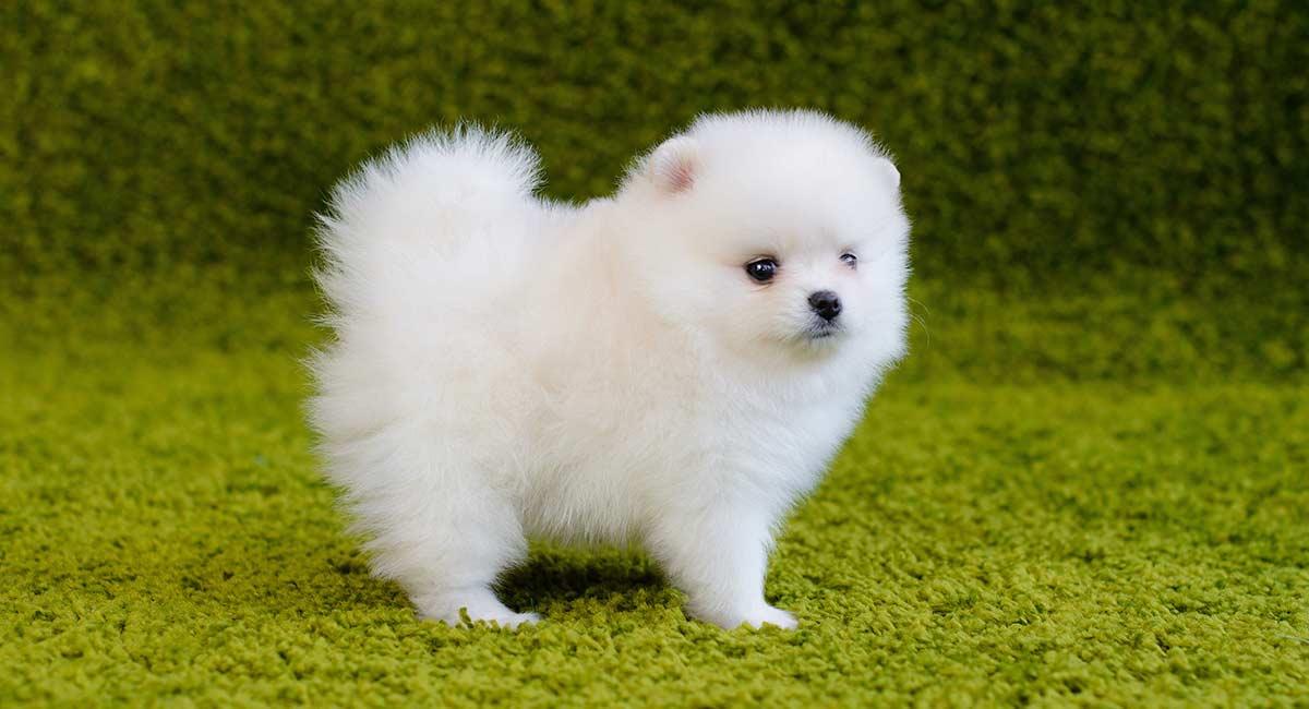 White Pomeranian - Warum weiße Poms ungewöhnlicher sind als die meisten!