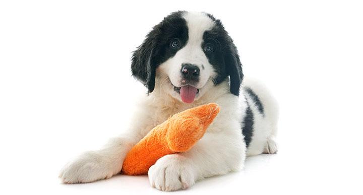 Warum mögen Hunde Quietschspielzeuge?