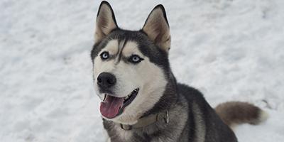 Siberian Husky Price - Entdecken Sie die Kosten dieses Hundes