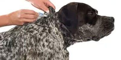 5 kritische Möglichkeiten, Zecken bei Hunden zu verhindern