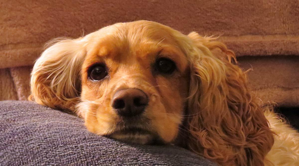 Ohrmilben bei Hunden - Ursachen, Symptome und Behandlung
