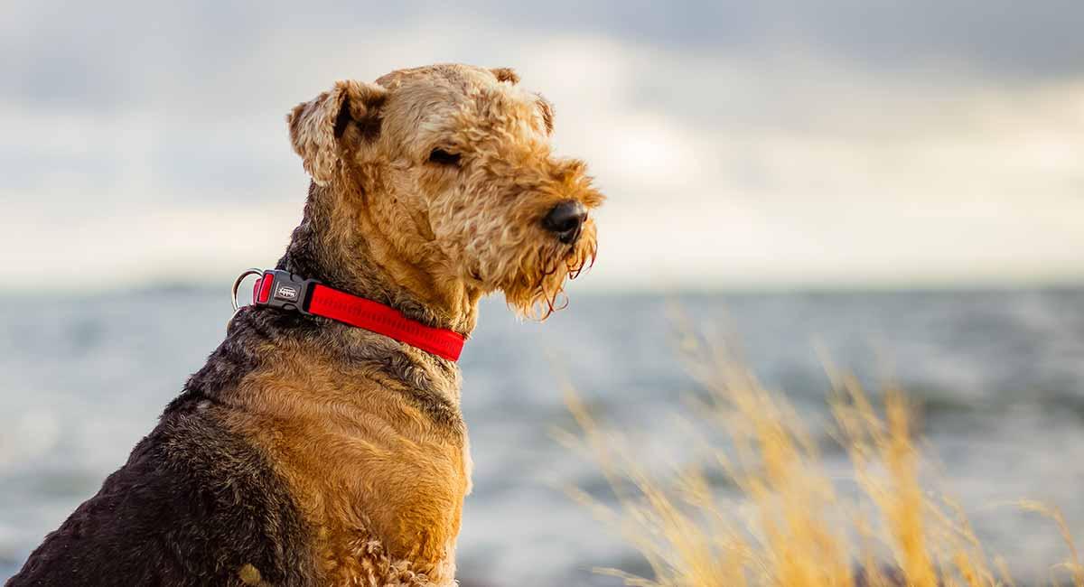Airedale Terrier - Ihr ausführlicher Führer eine schöne Rasse