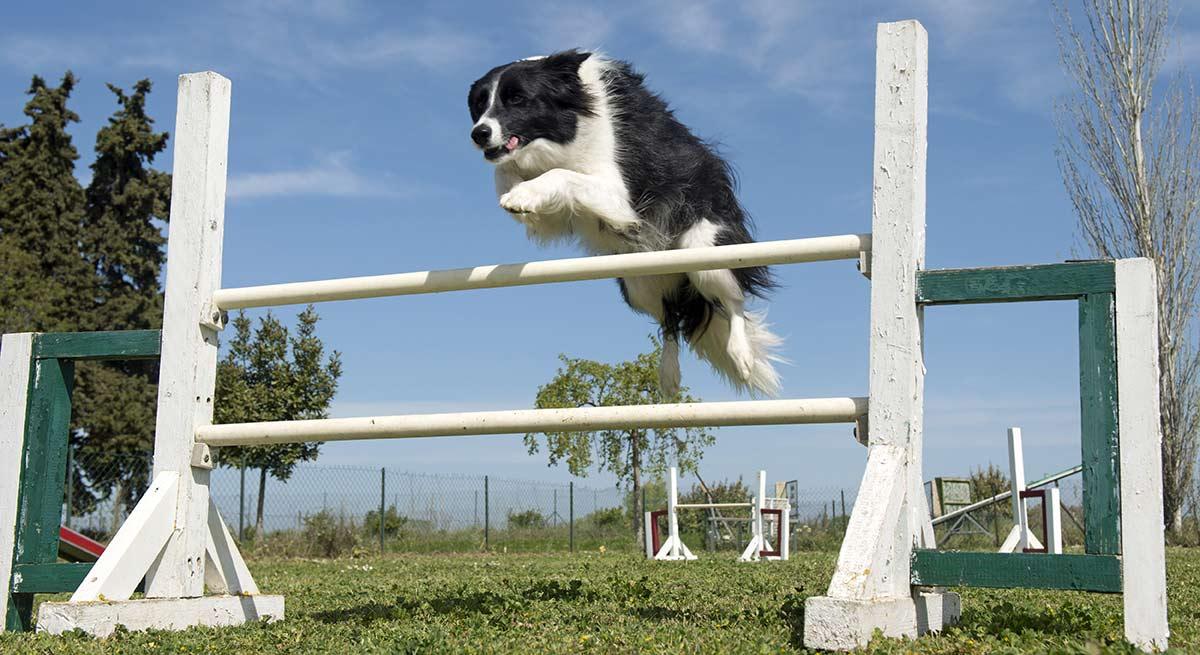 Wie man einem Hund das Springen beibringt