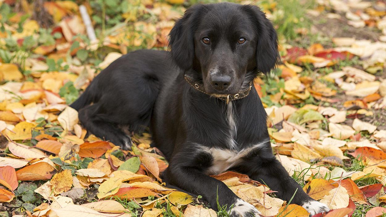 Springador - Ihr kompletter Leitfaden für den Labrador Springer Spaniel Mix