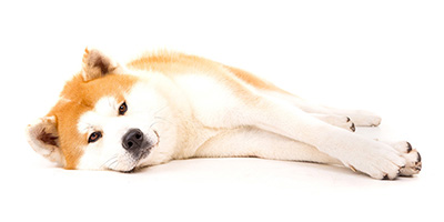 Shiba Inu Price - Wie viel kosten sie und warum?