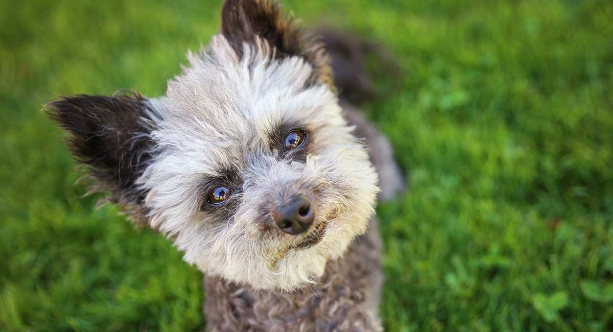 Chihuahua Pudelmix - Treffen Sie den fröhlichen Chipoo-Welpen