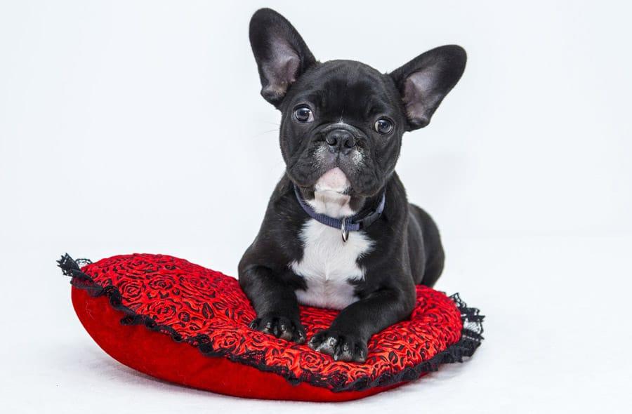 Schöne französische Hundenamen - 211+ Fantastische Namensideen