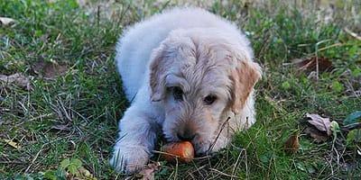 5 Human Foods, die wahnsinnig gut für Ihren Hund sind