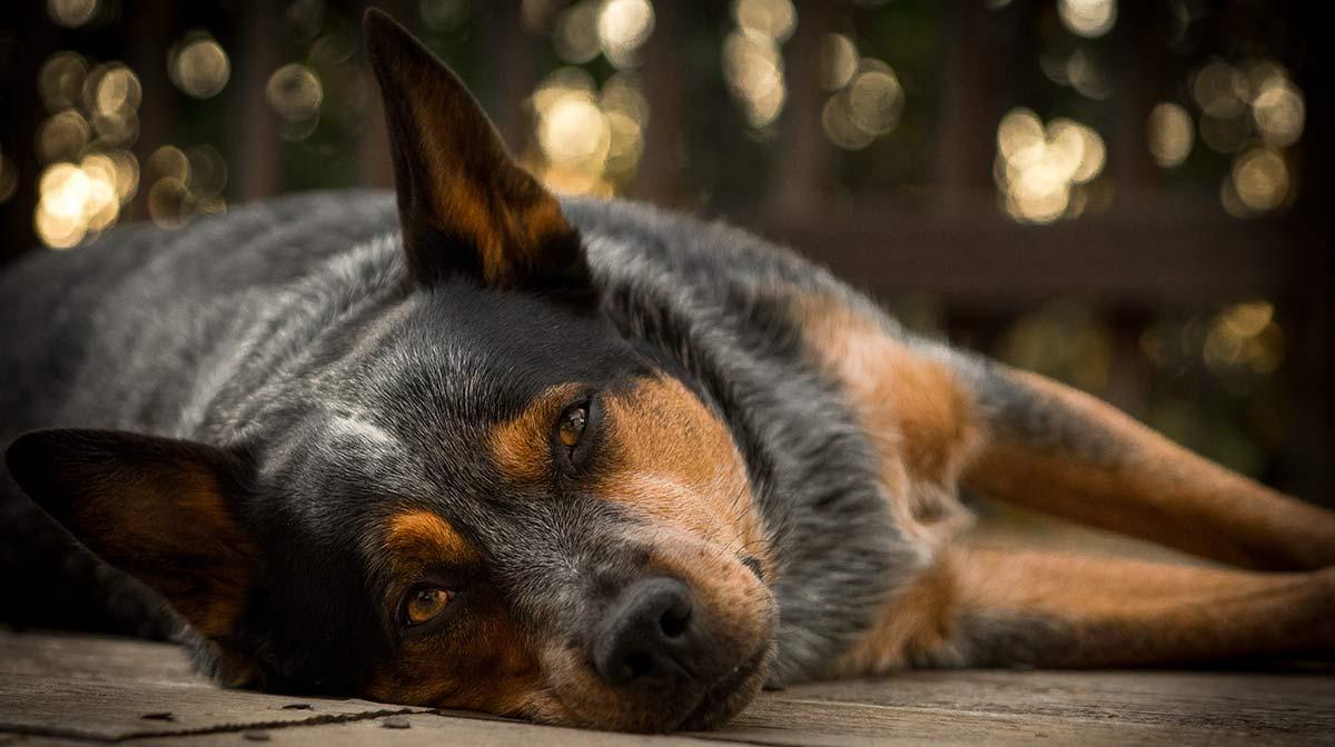 Blue Heeler: Ein kompletter Leitfaden für den schönen australischen Viehhund