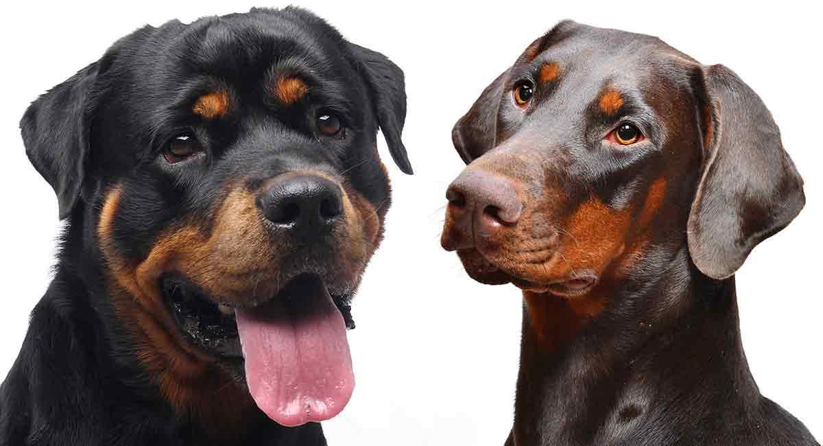 Dobermann vs Rottweiler - Ähnliches Aussehen, aber unterschiedliche Persönlichkeiten?