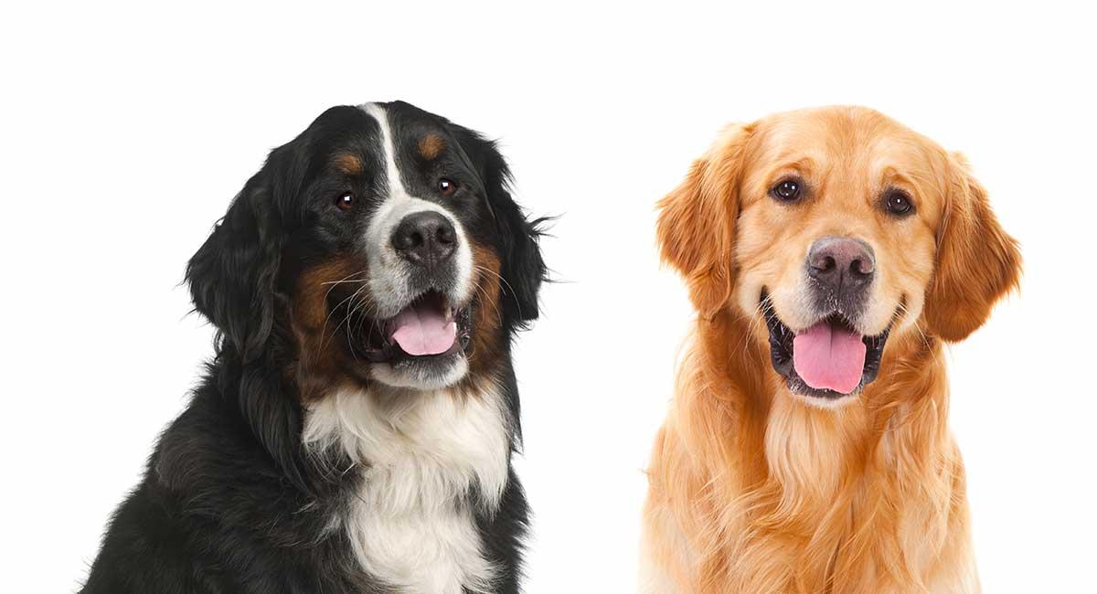 Berner Sennenhund Golden Retriever Mix: Groß und treu