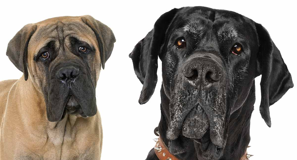 Dogge Dogge Mix - wo zwei große Rassen kombinieren