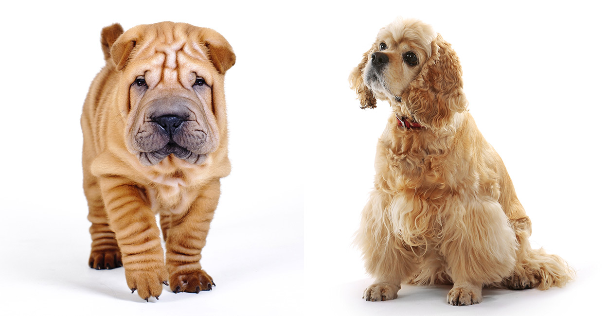 Cocker Spaniel Shar Pei Mix