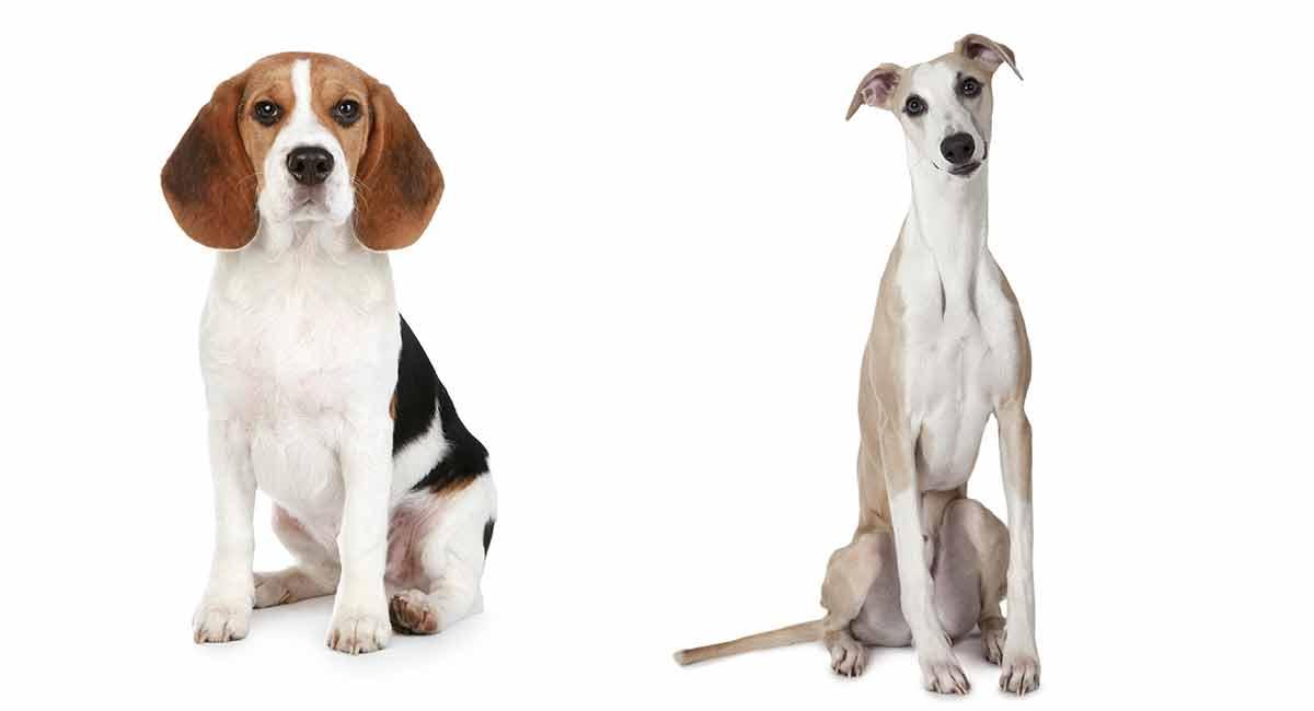 Whippet Beagle Mix - schöne Mischung oder verrückte Kombination?