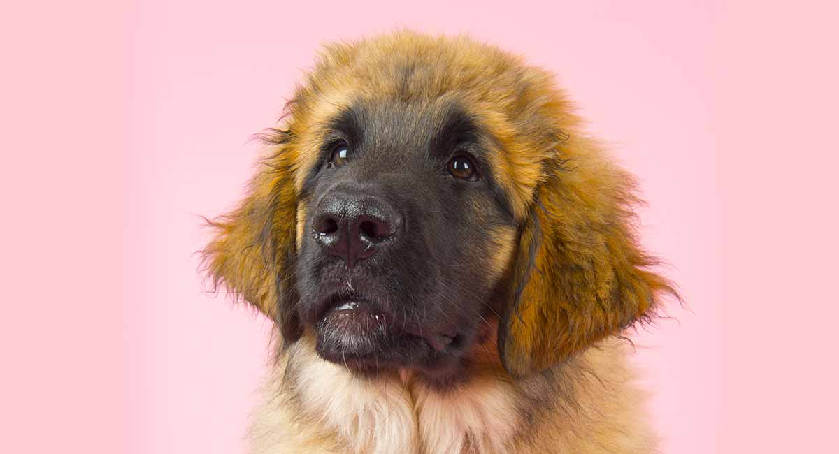 Leonberger - Ist dieser sanfte Riese der richtige Hund für Sie?
