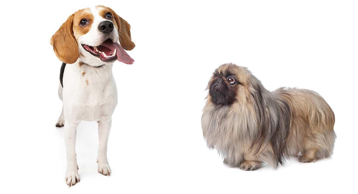 Peagle - Ist der Pekingese Beagle Mix genau das Richtige für dich?