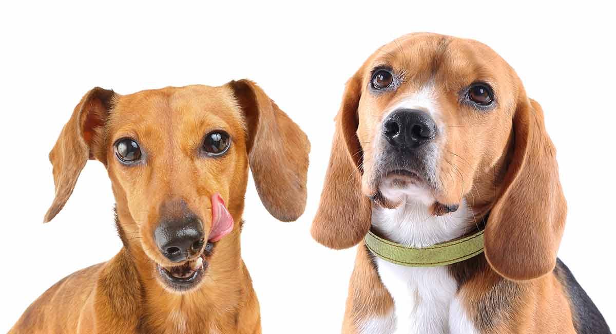 Dackel-Beagle-Mix - ist dies die richtige Kreuzung für Sie?