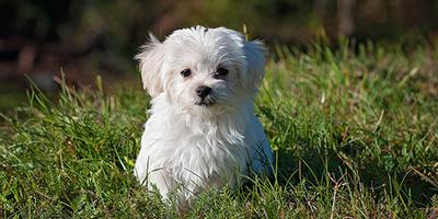 Maltesische Hundenamen - 99 entzückende Ideen für Malteser Welpen
