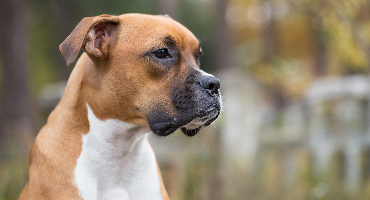 Das Informationszentrum für Boxer Dog Breed