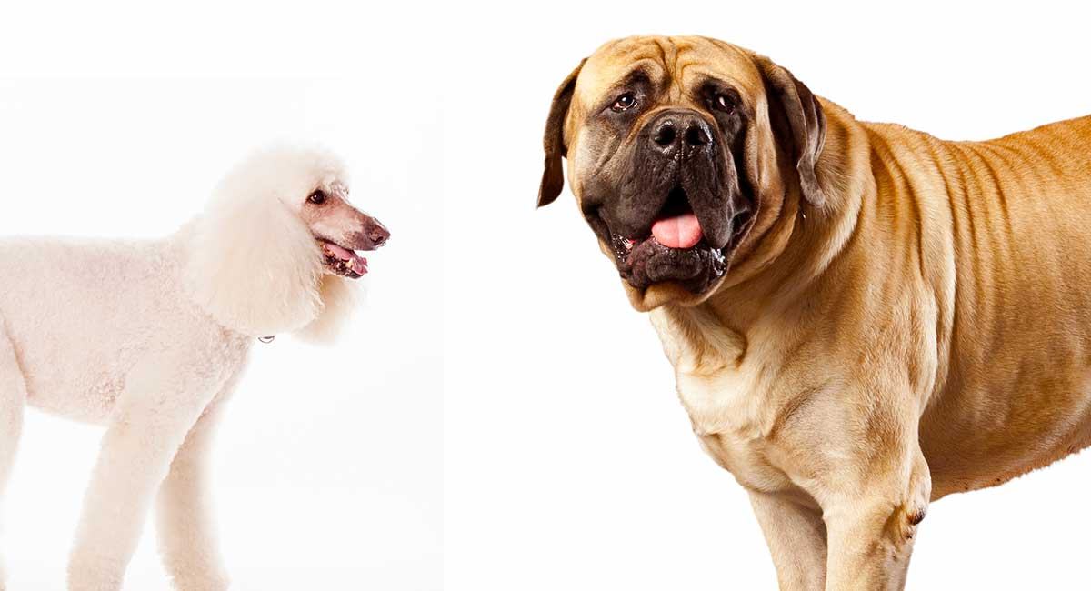 Mastidoodle - ist der Mastiff-Pudelmix genau das Richtige für Sie?