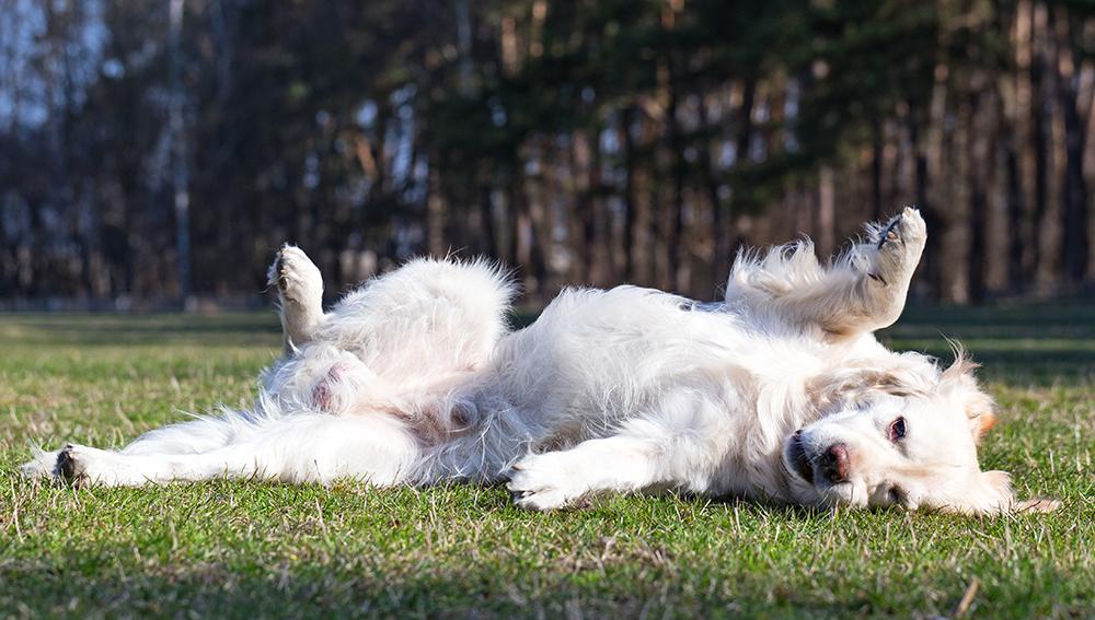 Ungehorsamer Hund: Was tun, wenn Ihr Hund Sie nicht gehorcht