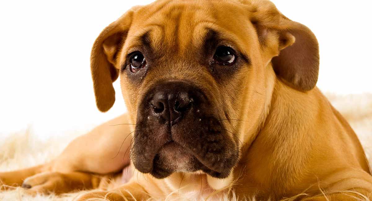 Bullmastiff - nur ein großer Wachhund oder das perfekte Haustier?