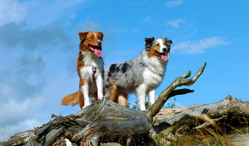 Australian Dog Names – 50+ Names from Down Under