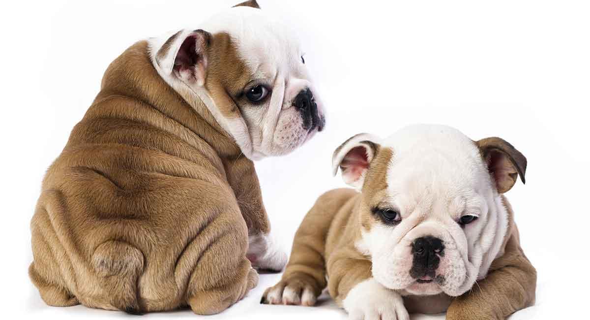 Mini Bulldog - Eine winzige Version einer klassischen Rasse