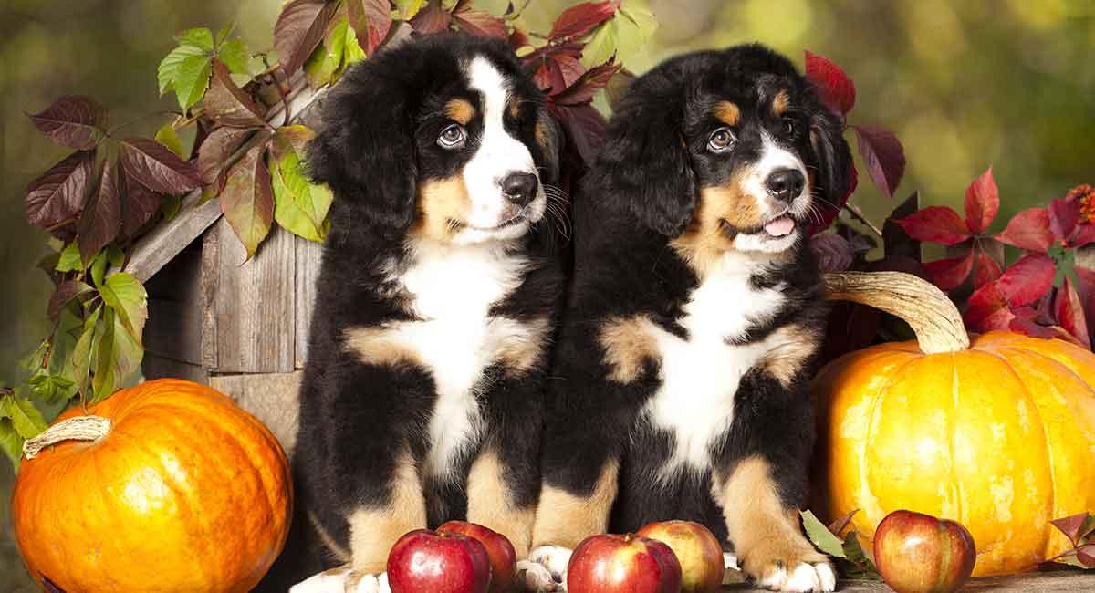 Berner Sennenhund - der sanfte Riese der Hundewelt