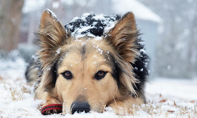 Entdecken Sie den German Shepherd Australian Shepherd Mix