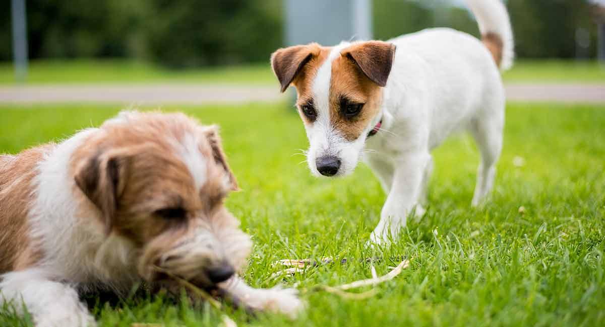 Werden Hunde auf andere Hunde, Katzen oder Menschen eifersüchtig?