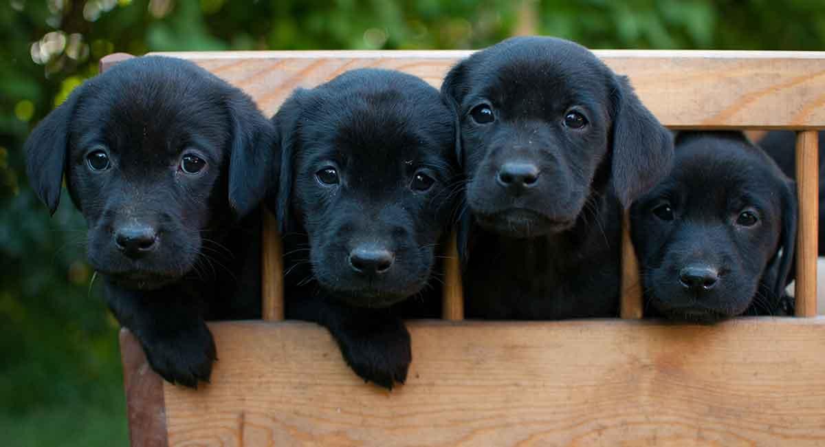 Black Labrador - Alles, was Sie über Ihr Black Lab wissen müssen