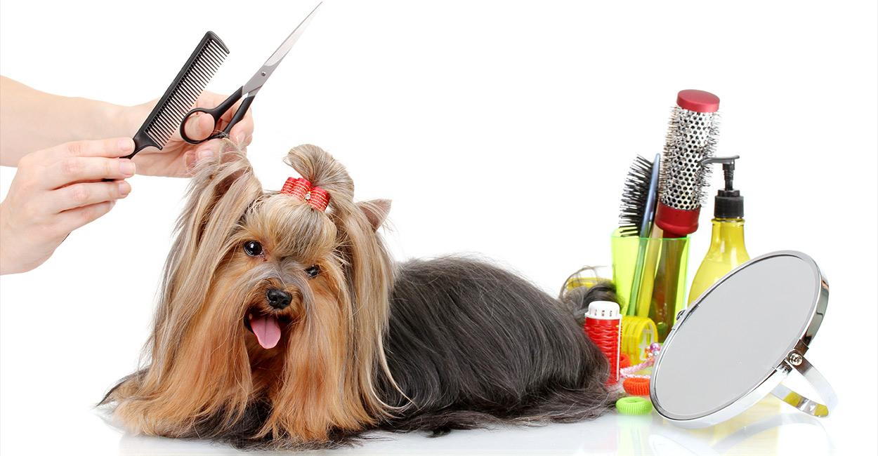 Yorkie Grooming - So pflegen Sie den Mantel Ihres Yorkshire Terrier
