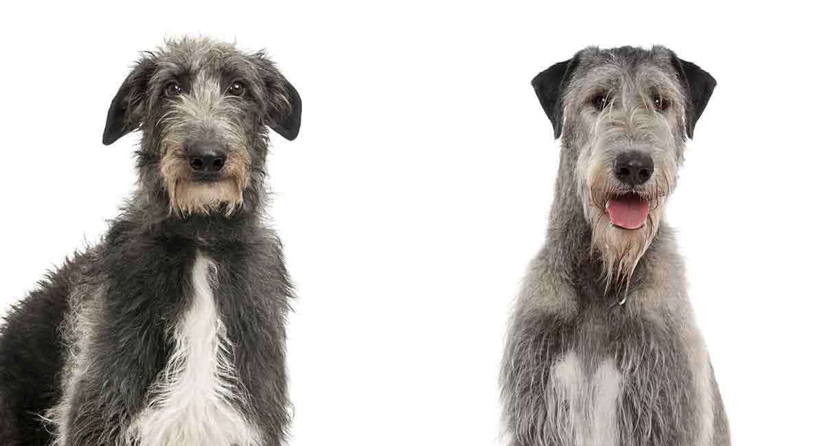 Scottish Deerhound vs. Irish Wolfhound - Welches würden Sie wählen?