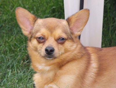 Pomeranian Chihuahua Mix - Lernen Sie den entzückenden Pomchi kennen