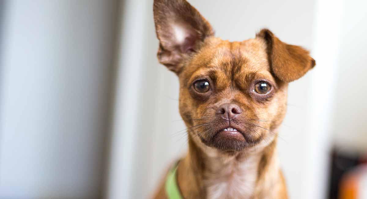 Chug - ist die Chihuahua-Mops-Mischung ein großer Familienhund?