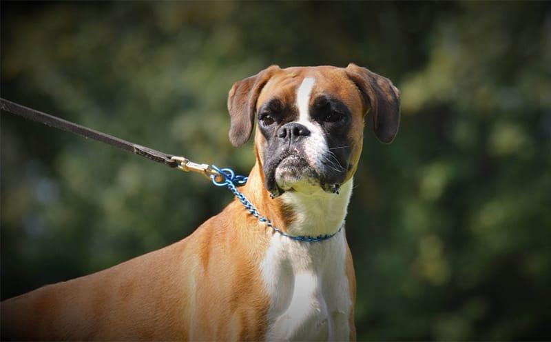 250+ Boxer Dog Names - Die ultimative Liste!