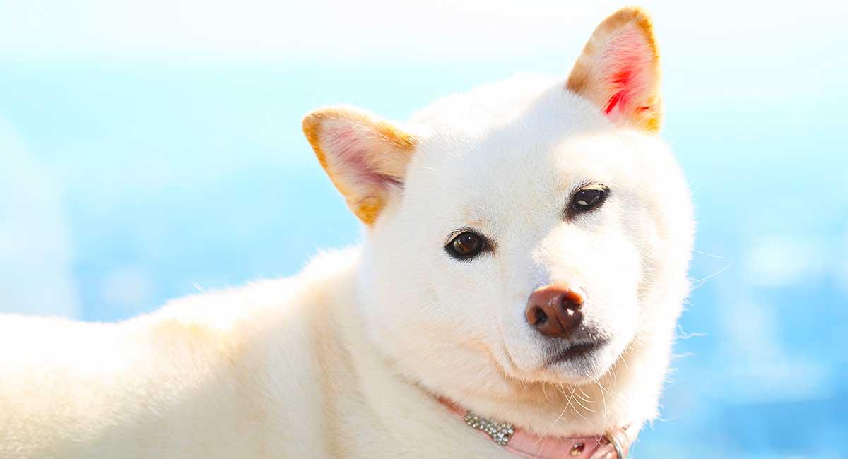 White Dog Names - Erstaunliche Ideen für tolle Hunde