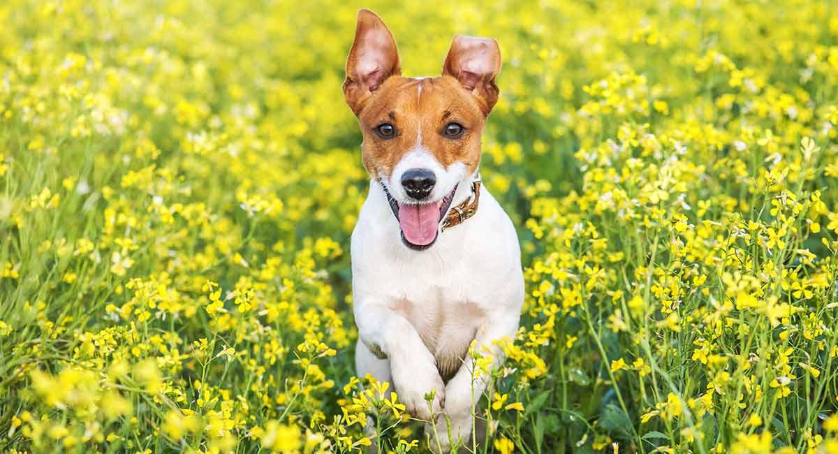 Terrier Hunderassen - Welcher Terrier wird dein Herz gewinnen?