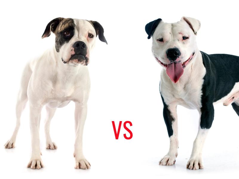 Amerikanische Bulldogge gegen Pitbull
